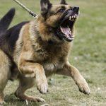 1 Year Old German Shepherd Aggressive