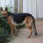 1 Year Old German Shepherd Female