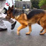 1 Year Old German Shepherd Hip Dysplasia