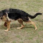 1 Year Old German Shepherd Limping