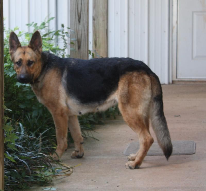 1 Year Old German Shepherd Pregnant Dog Breed Information