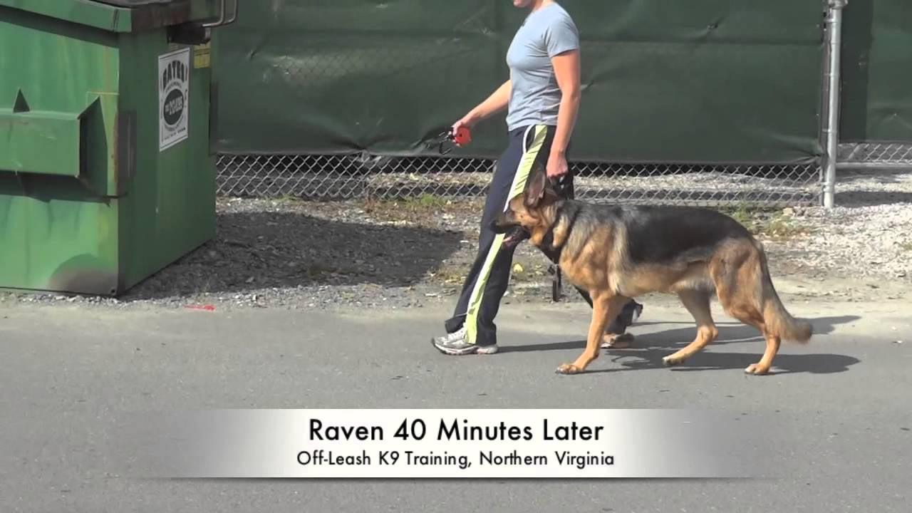 1 Year Old German Shepherd Training