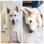 1 Year Old White German Shepherd