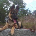 10 Month Old German Shepherd Behavior
