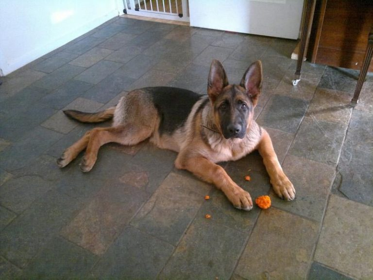 10 Month Old German Shepherd How Much Bigger