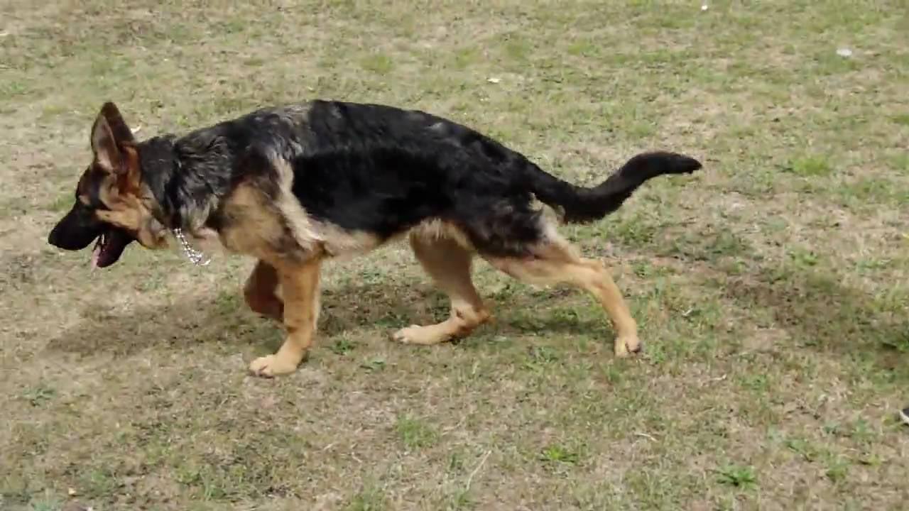 10 Month Old German Shepherd Limping