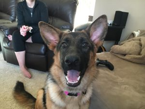 10 Month Old German Shepherd Mouthing