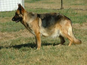 10 Month Old German Shepherd Pregnant