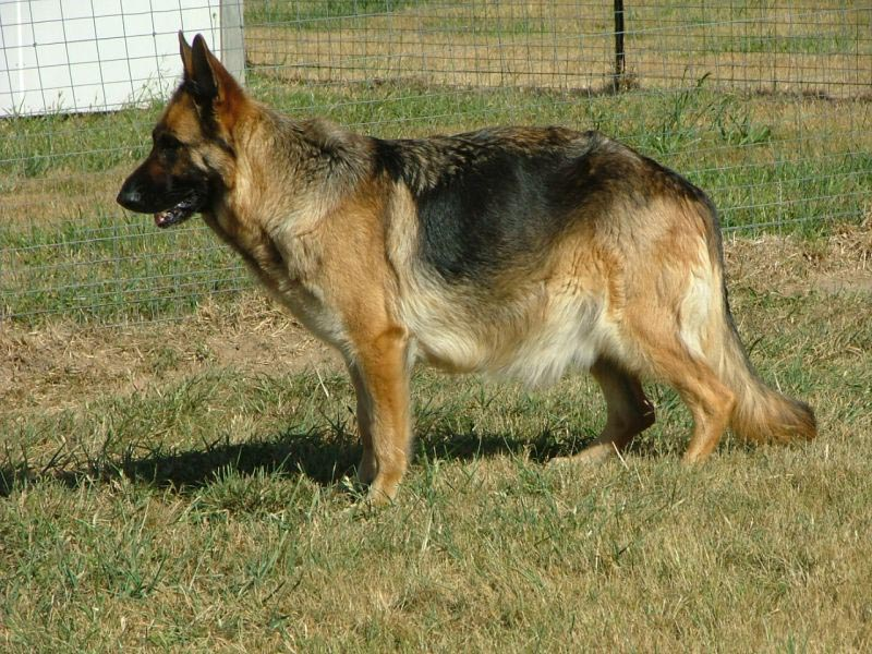 10 Month Old German Shepherd Pregnant Dog Breed Information