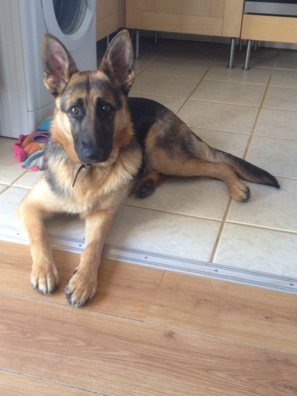 10 Month Old German Shepherd Puppies
