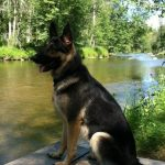 10 Month Old German Shepherd Weight