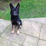 10 Month Old Male German Shepherd