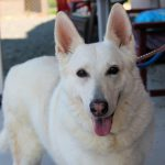 10 Month Old White German Shepherd
