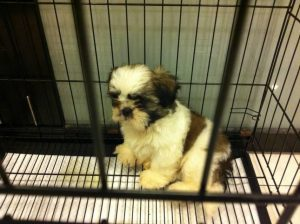 2 Month Old Shih Tzu Care
