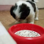 2 Months Old Shih Tzu Food