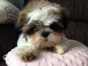 2 Months Old Shih Tzu Weight