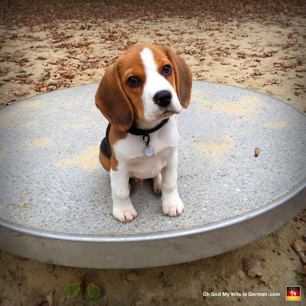 3 Month Beagle Puppies