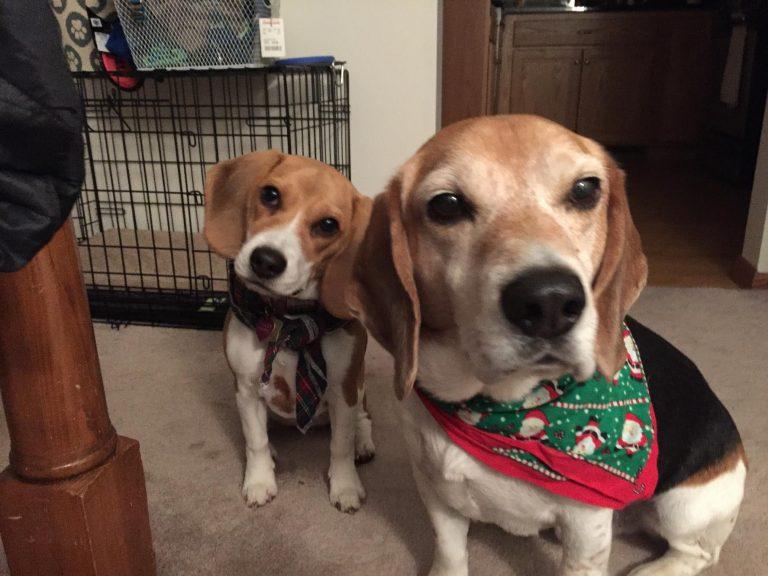 3 Month Beagle Size