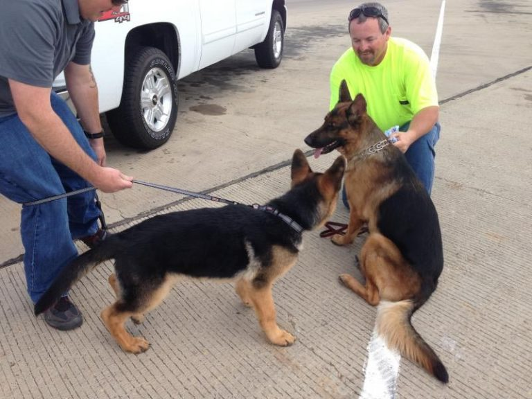 3 Month German Shepherd Puppy Biting