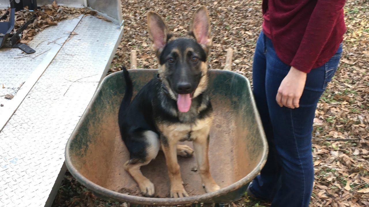 3 Month German Shepherd Training
