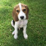 3 Month Old Beagle Weight