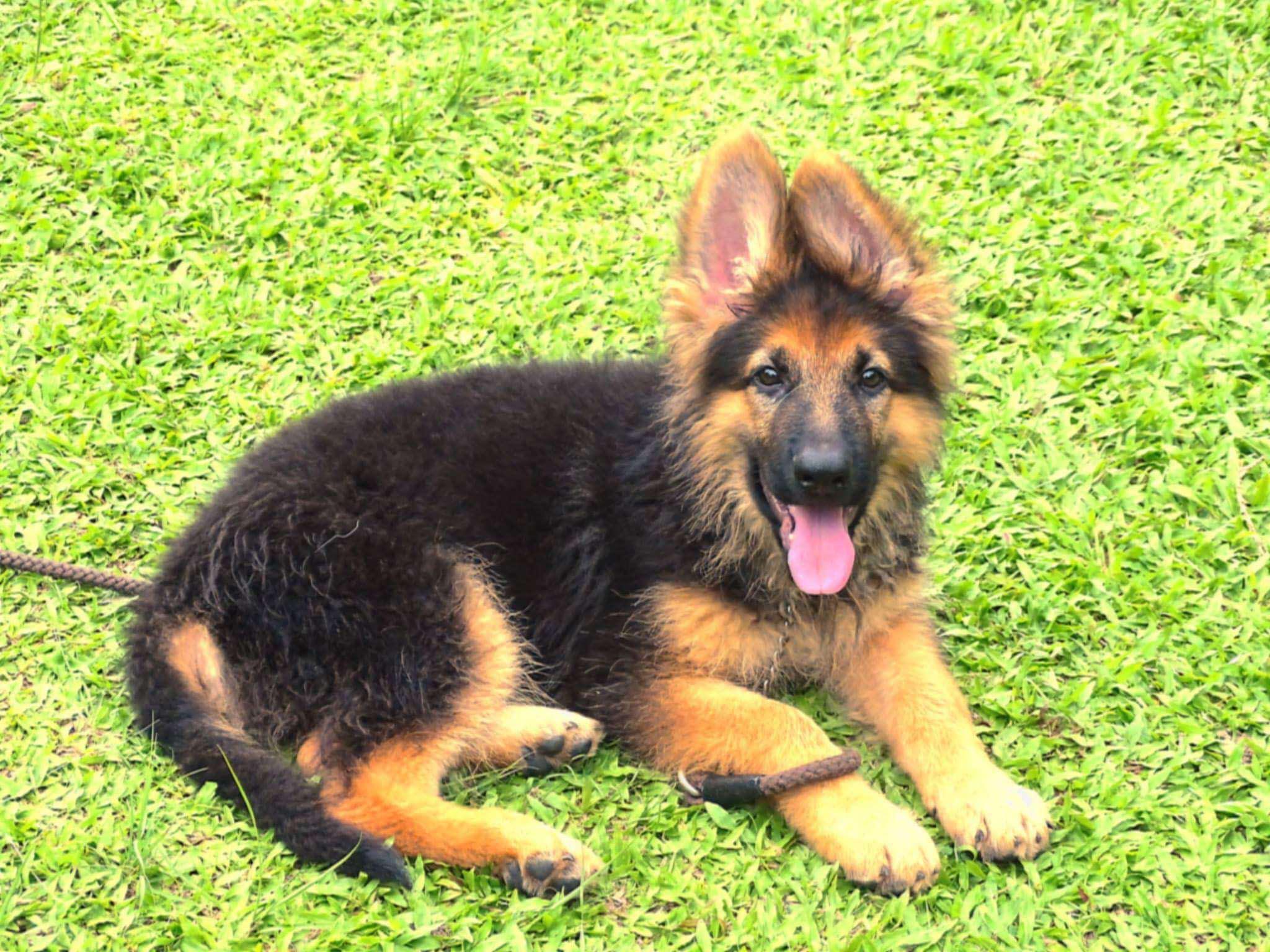 3 Month Old German Shepherds