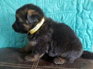 3 Week Old German Shepherd Puppies
