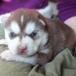 3 Week Old Husky Pup