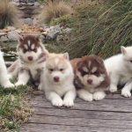 3 Week Old Husky Puppies