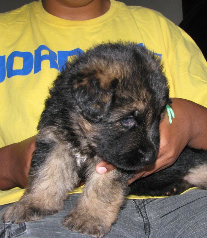 3 Week Old Long Haired German Shepherd