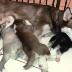 3 Week Old Siberian Husky
