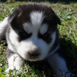 3 Week Old Siberian Husky Puppies