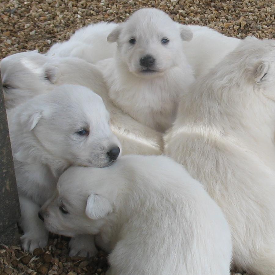 3 Week Old White German Shepherd Puppies