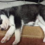 3 Weeks Old Husky Puppies