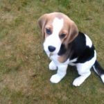 4 Month Old Beagle Puppy