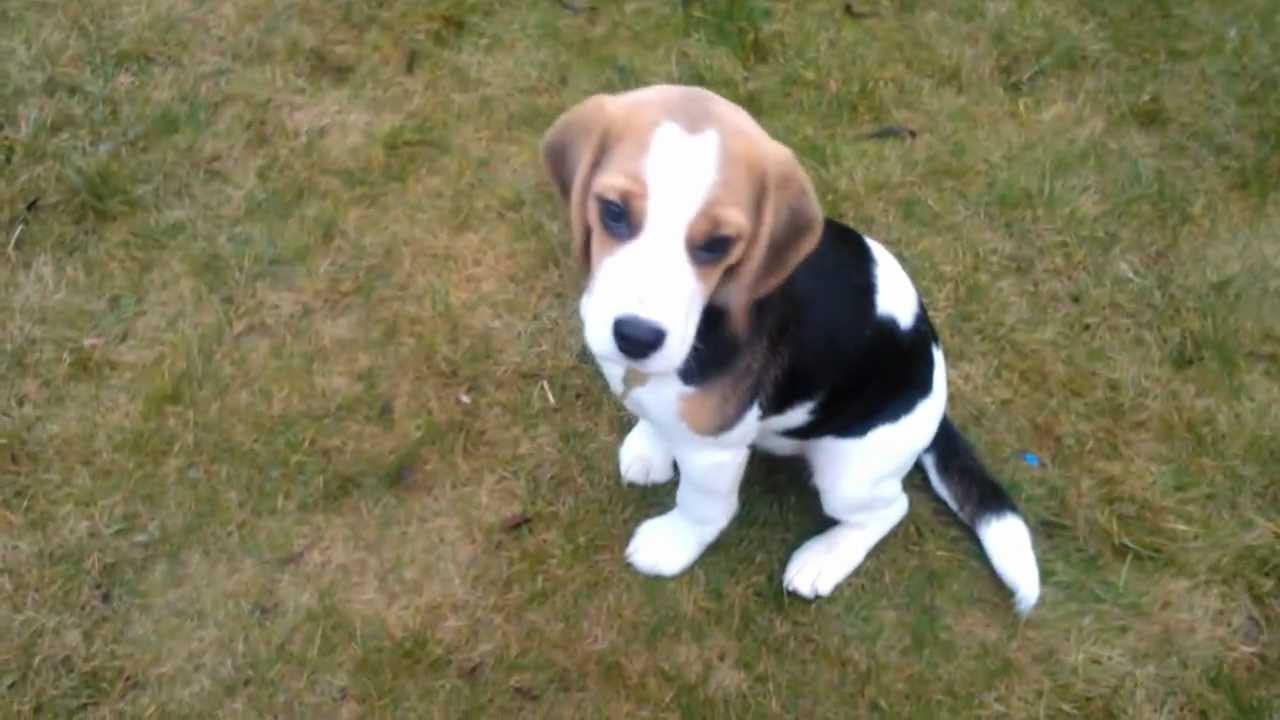 4 Month Old Beagle Size