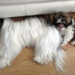 4 Month Old Shih Tzu Behavior