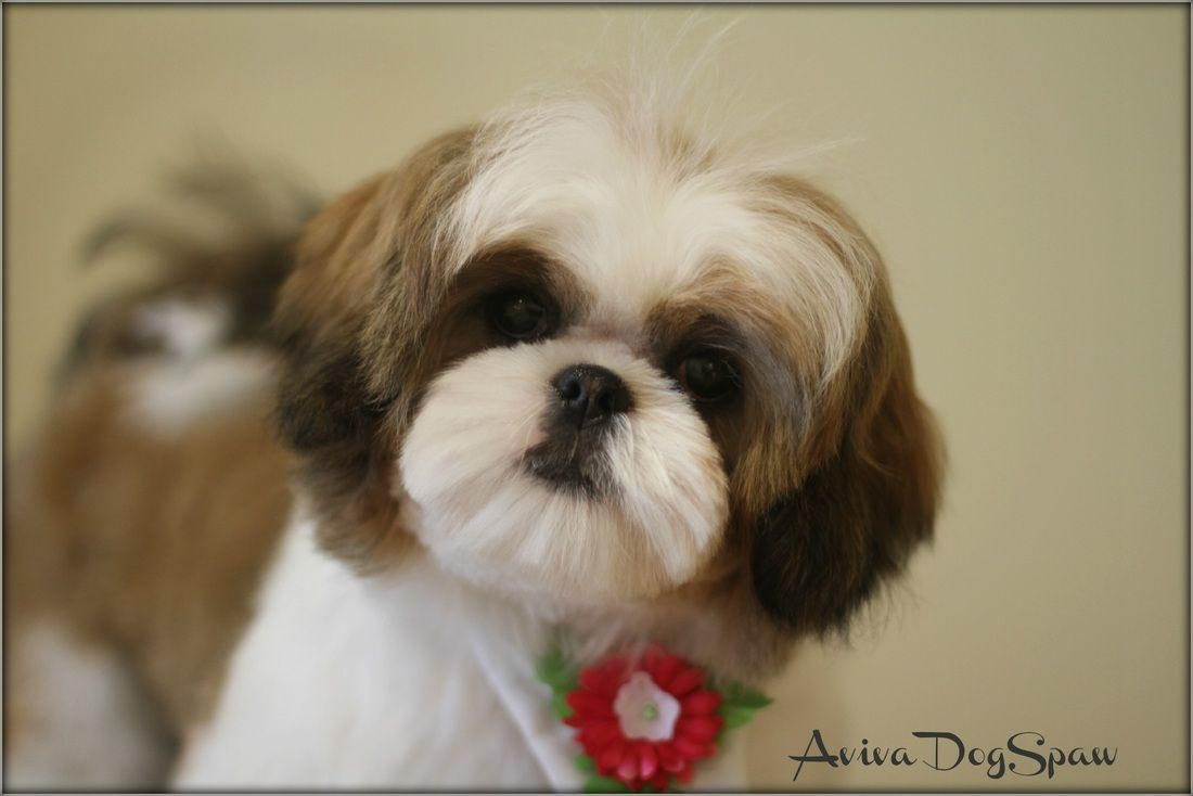 4 Month Old Shih Tzu Haircut