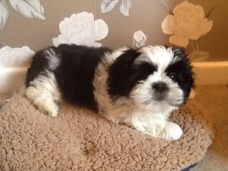 4 Month Old Shih Tzu Pup