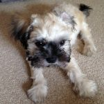 4 Month Old Shih Tzu Troubleshooting