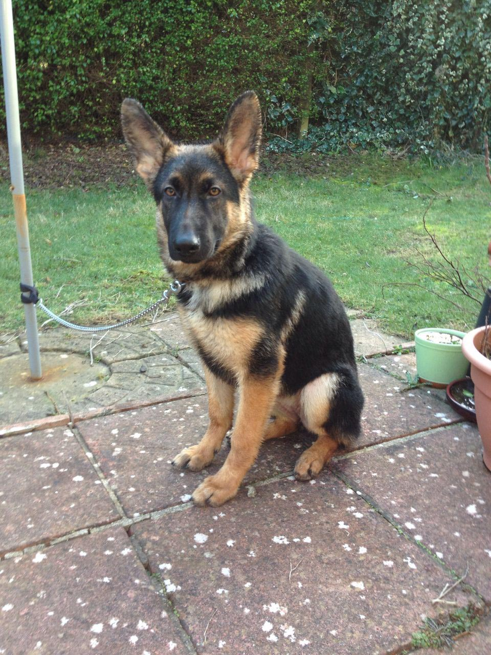 5 Month Old Female German Shepherd