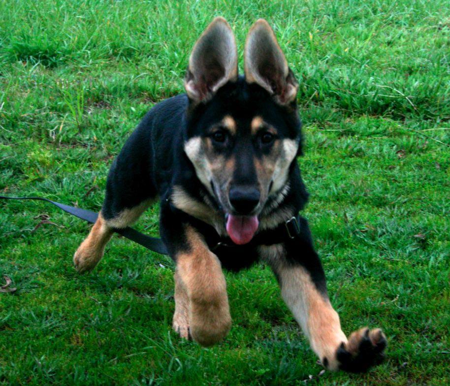 5 Month Old German Shepherd Diarrhea