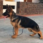 5 Month Old German Shepherd Female
