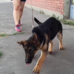 5 Month Old German Shepherd Puppy