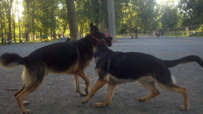 5 Month Old German Shepherd Puppy Biting