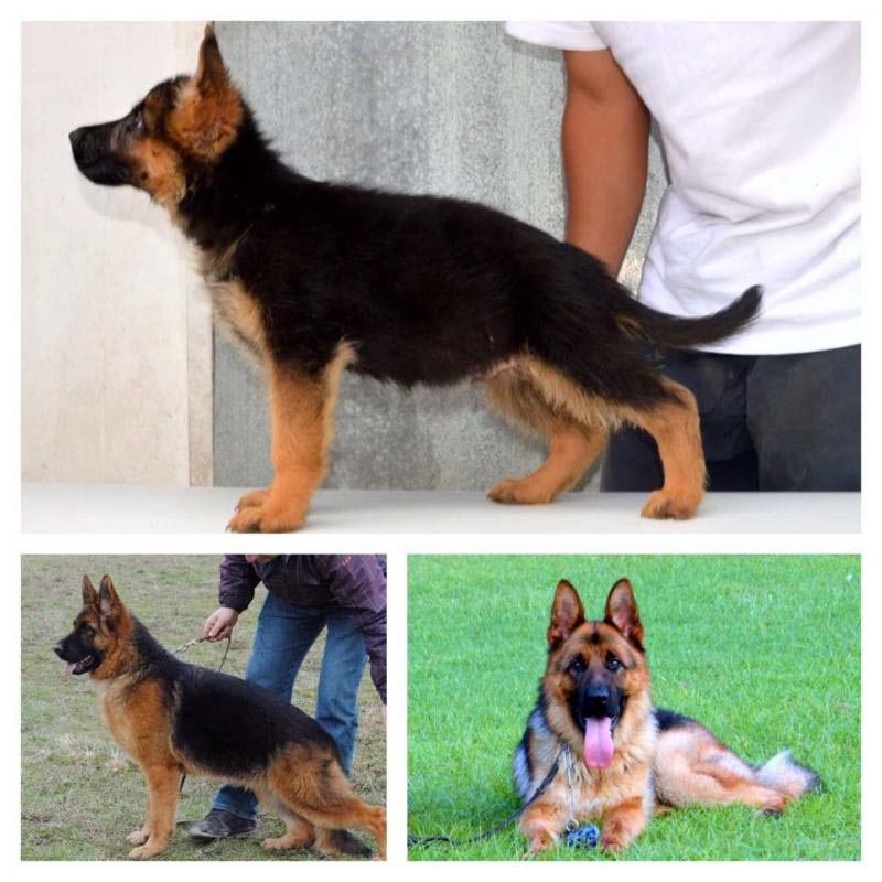 5 Month Old German Shepherd Size Dog