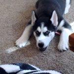 5 Month Old Husky Biting