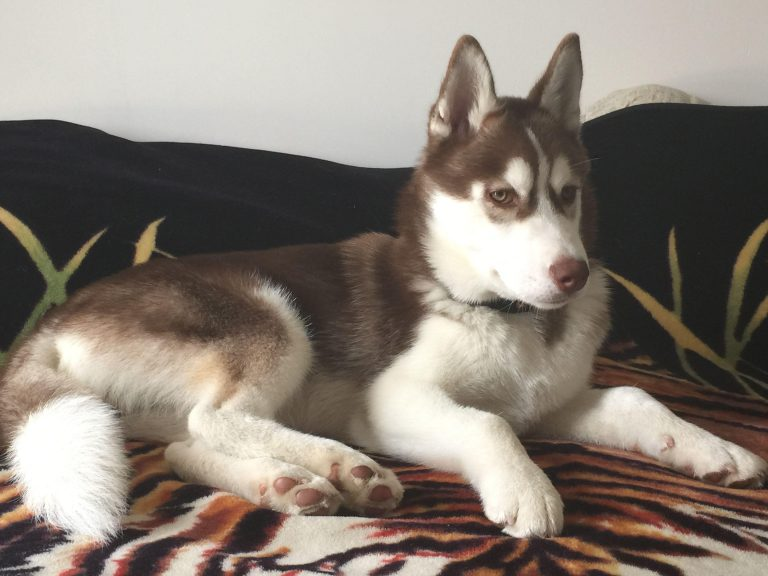 5 Month Old Siberian Husky Puppy