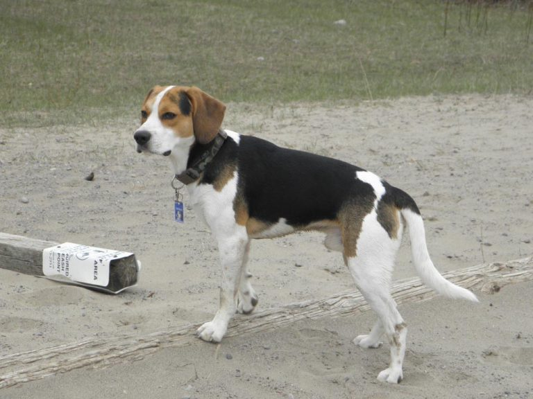 6 Month Beagle Weight