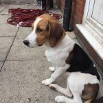 6 Month Old Beagle